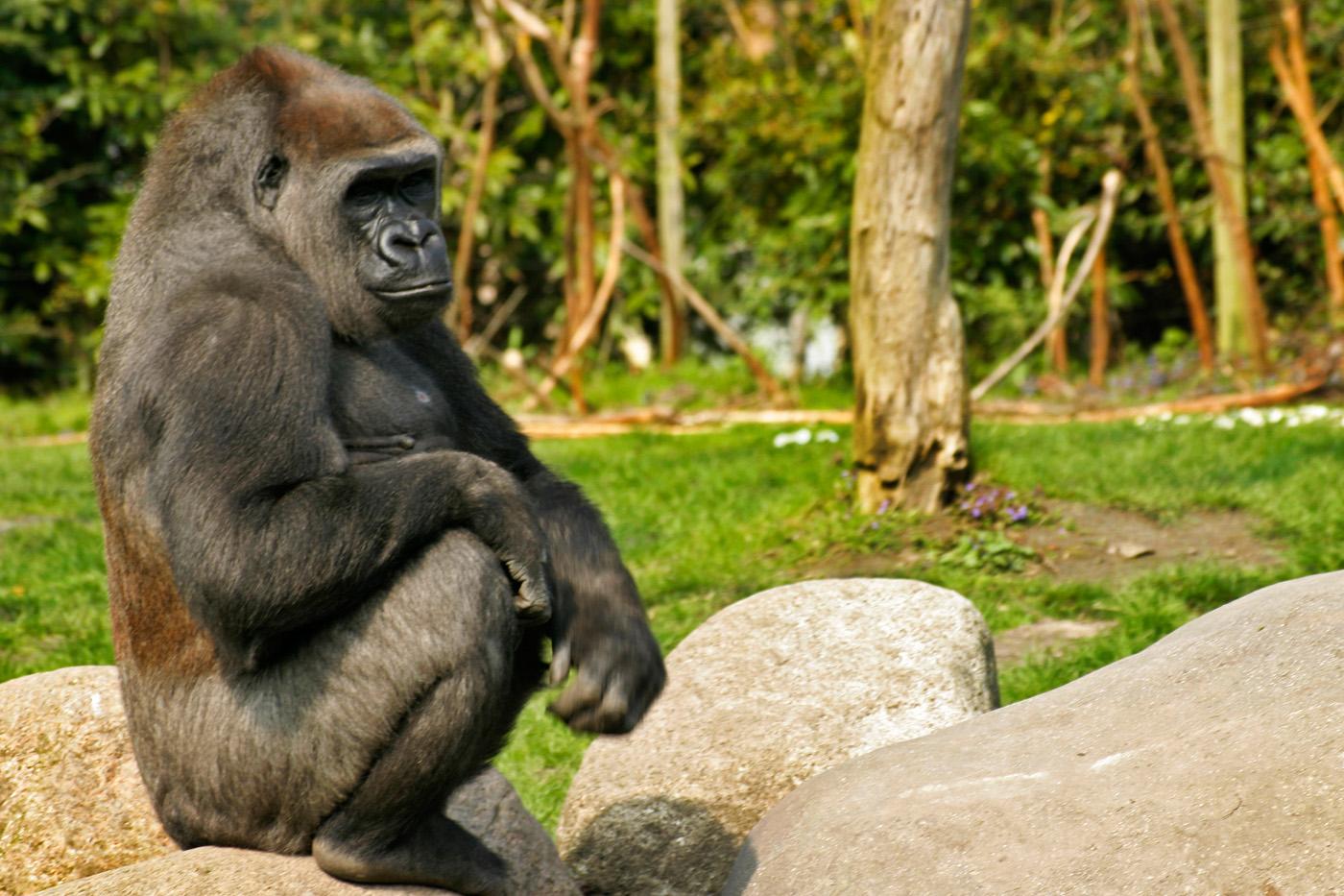 """De gorilla Bokito zit rustig op een rots van het weer te geniten. Het vernieuwde buitenverblijf is nu """" Bokito-proof """". ANP COPYRIGHT SVB"""