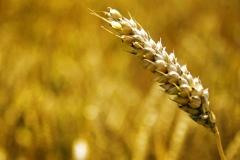 2008-07-13 Een groot graanveld waar de grondstoffen voor het brood worden verbouwd. ANP COPYRIGHT SVB