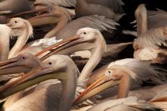 2011-09-19 EMMEN - Pelikanen in het Dierenpark Emmen. ANP COPYRIGHT SVB