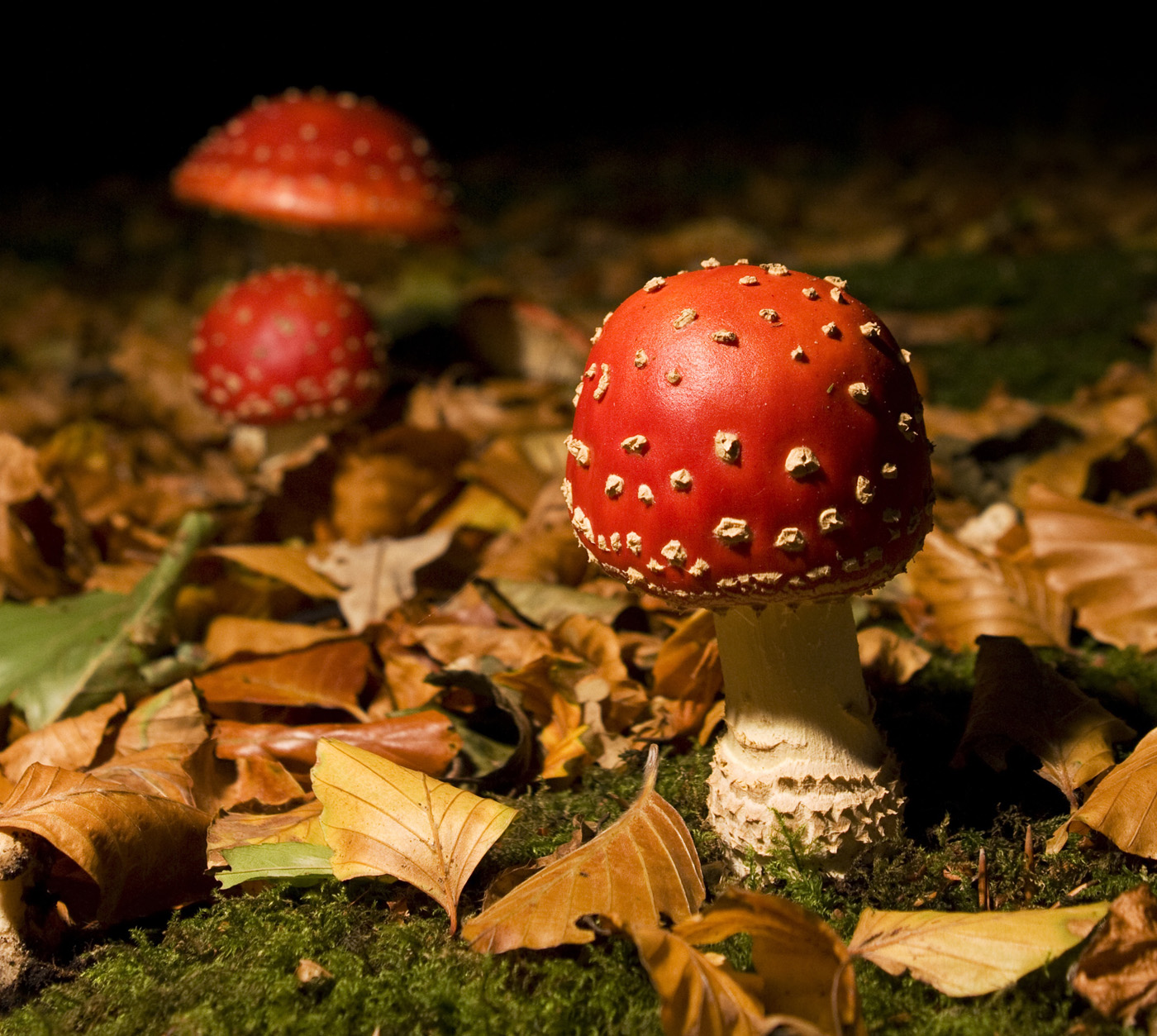 2009-10-17 Een van de mooiste en wonderbaarlijkste paddestoelen van Nederland is toch wel de vliegenzwam. Ondanks haar felle kleuren valt ze meestal pas op het laatste moment op tussen alle bontgekleurde herfstbladeren. ANP COPYRIGHT SVB
